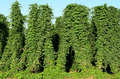 Willamette hops valley being grown for the northwest beer industry Stock Photo