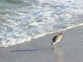 Willet beach bird a looks for food on the in florida Royalty Free Stock Photos