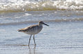 Willet bird wading in ocean surf a shorebird Royalty Free Stock Images