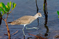 Willet this image of a bird was captured in the j n ding darling national wildlife refuge on sanibel island in florida the bird Stock Photo