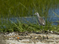 Willet occidental Imagenes de archivo