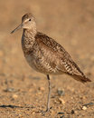 Willet On One Leg Stock Photos