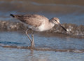Willet a is photographed foraging on the edge of the south carolina surf Stock Photography