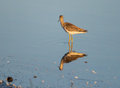 Willet in reflection at dawn south florida Stock Photos