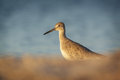 Willet on soft colours background with foreground florida Stock Images