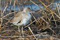 Willet standing in water the marsh Stock Image