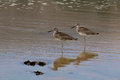 The willet on the water at malibu beach in august bird Stock Photo