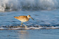 Willet in the Waves Royalty Free Stock Photo