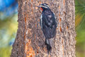 Williamson s sapsucker adult male perched on side of ponderosa pine trunk Stock Photography