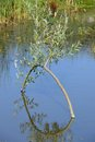 Willow arch reflecton in pond Royalty Free Stock Photo