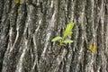 Willow bark closeup