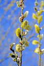 Willow blossom on a blue sky in spring Stock Images