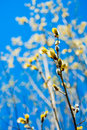 Willow branch with flowers against a blue sky Stock Photo