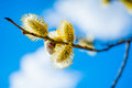 Willow branch with flowers against a blue sky Royalty Free Stock Photography