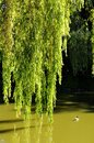 Willow branches dropping to the water richmond bc Stock Photography