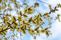 Willow Branches In Spring Nature