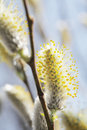 Willow Catkins Royalty Free Stock Photography