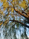 Willow by dusk Royalty Free Stock Photo