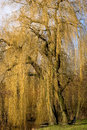 Willow, Eindhoven, The Netherlands Royalty Free Stock Images