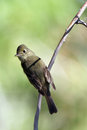 Willow flycatcher empidonax traillii closeup of a in autumn Royalty Free Stock Image