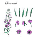 Willow herb, Chamerion angustifolium, fireweed, rosebay hand drawn colorful ink sketch botanical illustration, vector