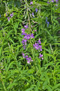 Willow herb a close up of the blooming medicinal chamerion angustifolium Royalty Free Stock Image