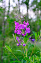 Willow herb ivan tea chamerion angustifolium Stock Images