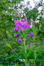 Willow herb ivan tea chamerion angustifolium Royalty Free Stock Images