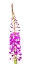 Willow-herb (Ivan-tea) Royalty Free Stock Photo