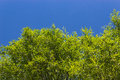 Willow leaves close up of green against a blue sky Royalty Free Stock Photos