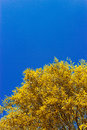 Willow leaves close up of yellow against a blue sky Stock Image