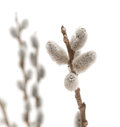 Willow pussy spring flower on white background Royalty Free Stock Image