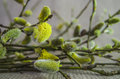 Willow pussy willow branch fluffy white bud twig with buds blossoming yellow green color Royalty Free Stock Images