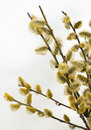 Willow spring flowering branches of Stock Images