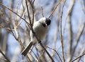 Willow tit. Royalty Free Stock Images
