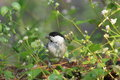 Willow tit in grassy place pictured that is eating bait Stock Photography