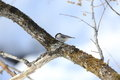 Willow tit pictured a on a branch of tree in winter Stock Photos