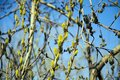 A willow tree blooms against the sky. Royalty Free Stock Photo