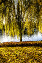 A willow tree on the grass Royalty Free Stock Photos
