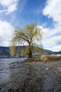 Willow tree by okanagan lake kelowna isolated the sunny day with nice clouds Royalty Free Stock Photography
