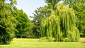 Willow tree in park Stock Photo