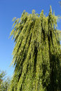 Willow tree in a park Stock Photo