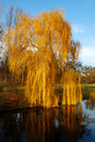 Willow tree (Salix) in a park in warm colors Stock Photo