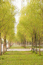 Willow tree in spring Stock Photography