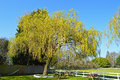 A Willow Tree Royalty Free Stock Photo