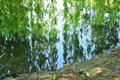 Willow tree wooden water mirror Royalty Free Stock Photo