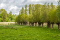 Willow trees a row of along a meadow Royalty Free Stock Photo