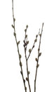Willow twigs. Royalty Free Stock Images