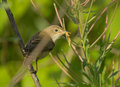 Willow warbler with a caterpillar on branch Royalty Free Stock Photography