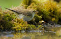 Willow warbler drinking water at a pond Stock Photo